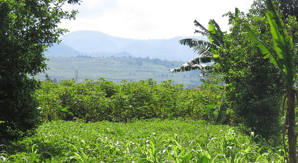 Banana farming systems in Central Uganda, photo by Beatrice Ekesa