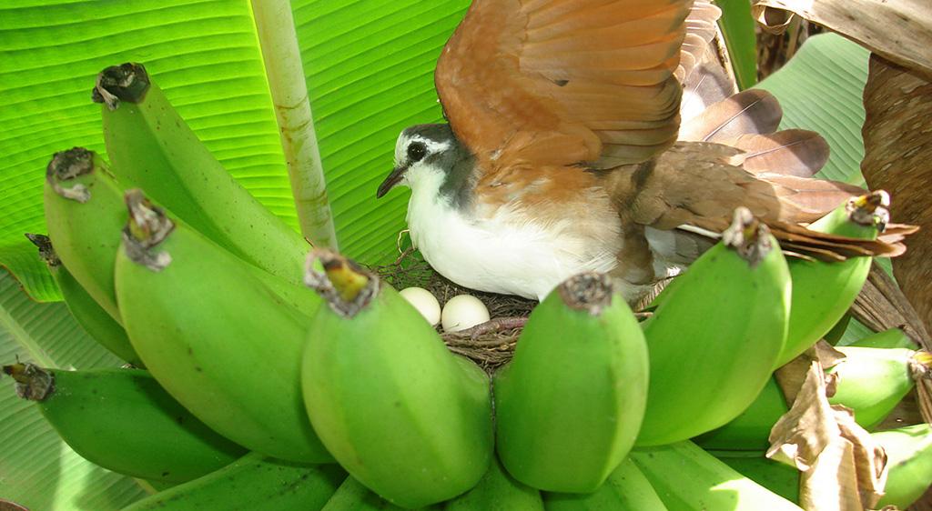 Dove nest, photo by Guy Blomme