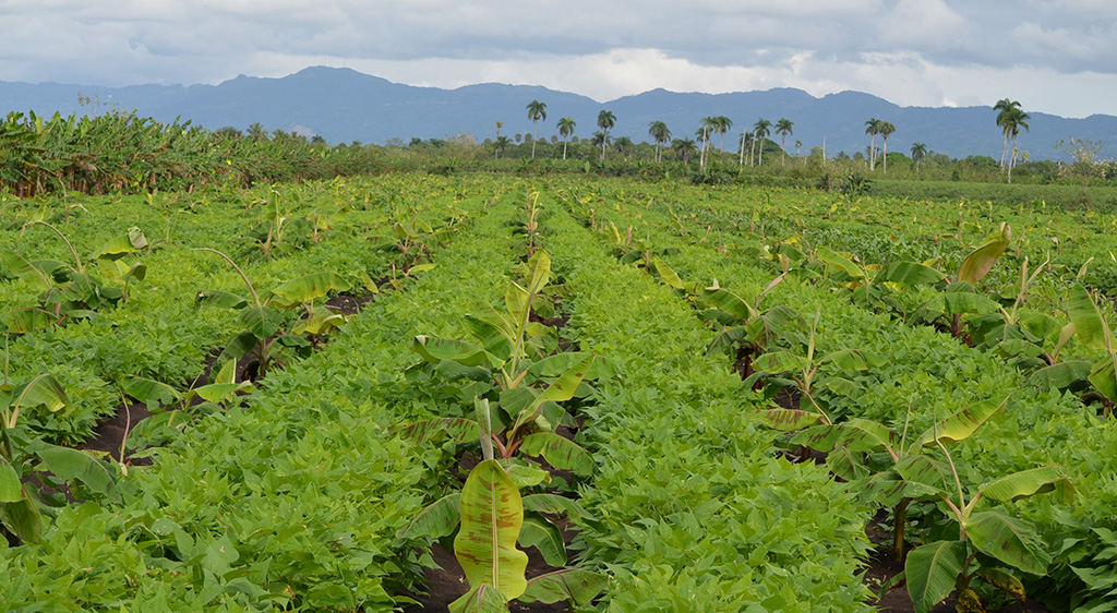 Intercropping of banana and legumes in the Dominican Republic, photo by Miguel Dita