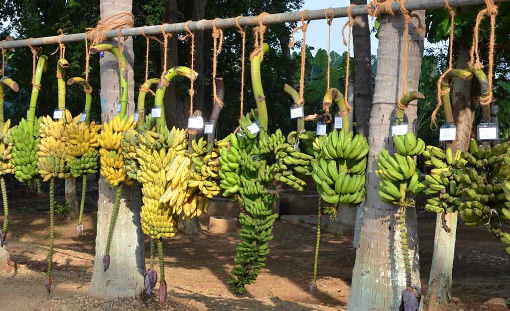 Bananas at NRCB, India, photo by Julie Sardos