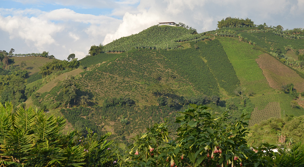 Plantain and coffee in Colombia, photo by Miguel Dita