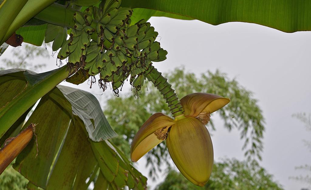 Wild Musa species, Colombia, photo by Miguel Dita