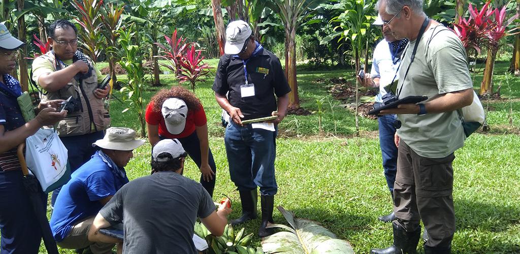 Field work at CORBANA (Costa Rica), photo by Rachel Chase